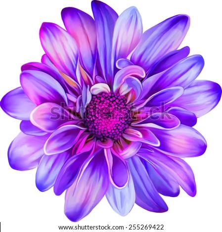 Purple chrysanthemum flower, Yellow flower, Spring flower.Isolated on white background. Vector golden-daisy - stock vector