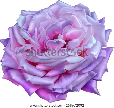 Purple Pink Rose Flower, Sexy and beautiful and rose bud isolated on white background. Vector illustration - stock vector