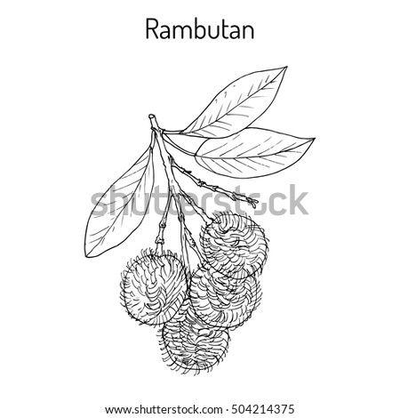 rambutan nephelium lappaceum tropical fruit hand stock vector 2018 504214375 shutterstock