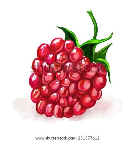 raspberry vector illustration  hand drawn  painted watercolor  - stock vector