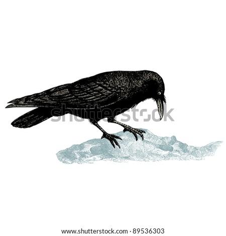 "Raven - vintage engraved illustration - ""Cent récits d'histoire naturelle"" by C.Delon published in 1889 France - stock vector"