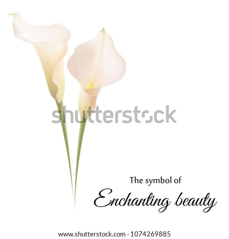Realistic Pink Calla Lily Symbol Enchanting Stock Vector Royalty