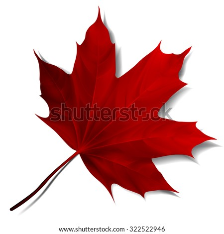 Realistic red maple leaf isolated on white background. Vector eps10 illustration