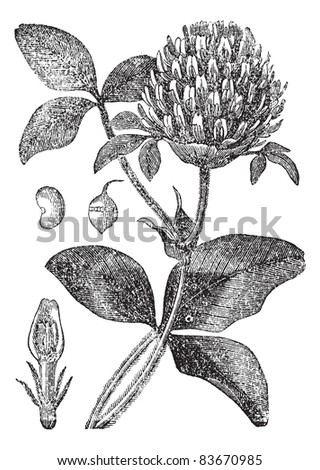 Trifolium Stock Photos, Royalty-Free Images & Vectors ...