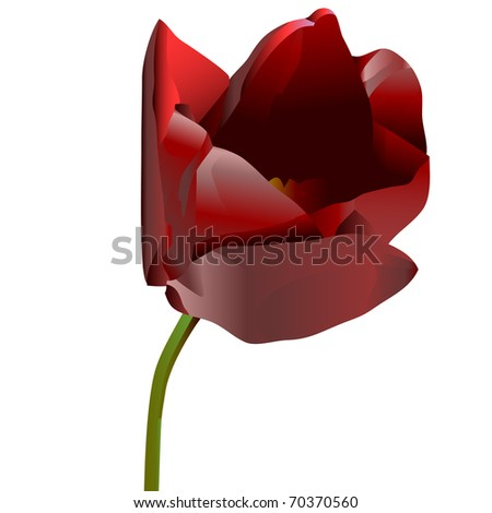 Red flower of a tulip isolated on a white background