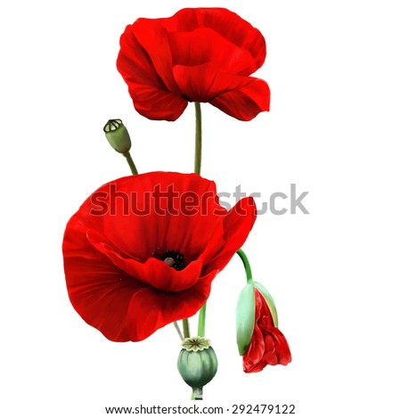 Red Poppy flower isolated on white background, vector illustration, EPS 10. - stock vector