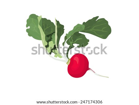 red radish - stock vector