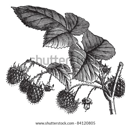 Red Raspberry or Rubus idaeus or European Raspberry or Framboise or Raspberry, vintage engraving. Engraved illustration of Red Raspberry isolated on white background. Trousset encyclopedia 1886 - 1891 - stock vector