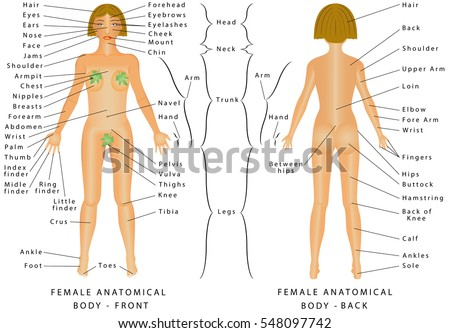 Regions Female Body Female Body Front Stock Vector 548097742 ...