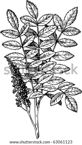 Staghorn Sumac Stock Photos Images