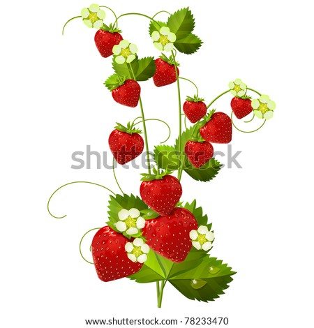 Ripe red strawberry isolated on white background - stock vector