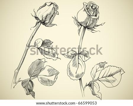 rose bud, sketch - stock vector