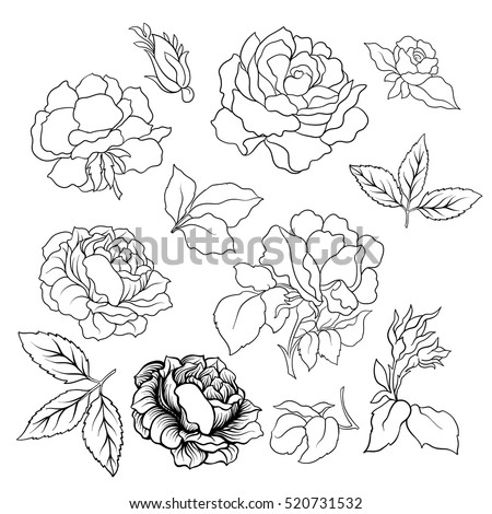 Rose flower set vector illustration outline drawing