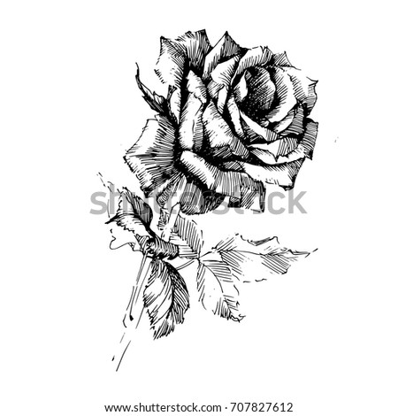 Single Black Rose Watercolor Painted Stock Illustration