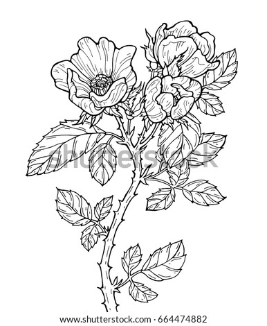 Roses isolated. Vector artwork. Black and white. Coloring book pages for adults and kids. Love bohemia concept for wedding invitation, card, ticket, branding, boutique logo, label. Monochrome