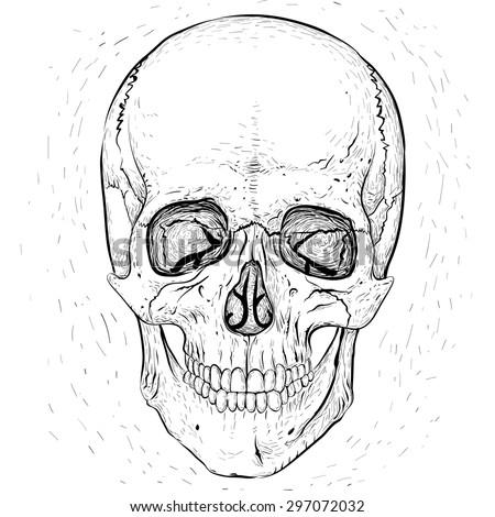 Scary human skull.White skull and white background. - stock vector