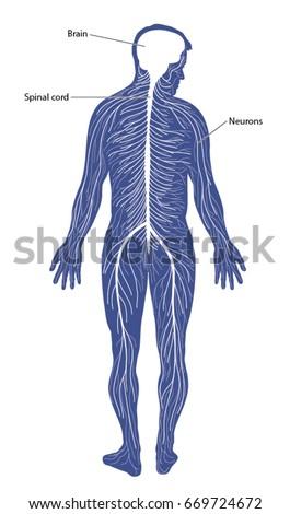 Schematic Diagram Nervous System Comprising Brain Stock Vector Hd