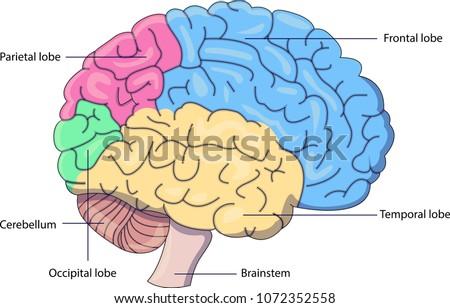 Schematic Vector Diagram Brain Labeled Parts Stock Vector 1072352558 ...
