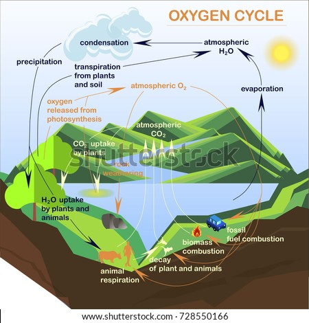 Pictures Of Oxygen Cycle 92