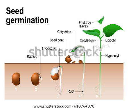 Seed Germination Stock Vector 610764878 Shutterstock