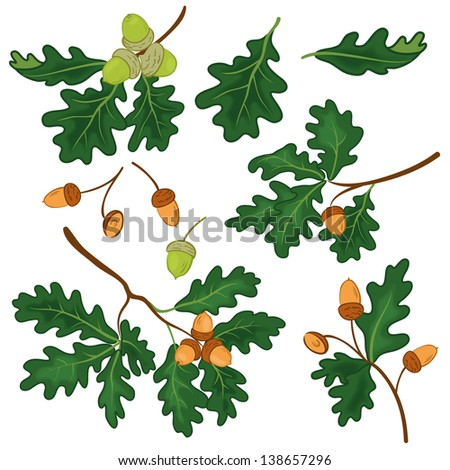 Set oak branches with green leaves and acorns on a white background. Vector - stock vector