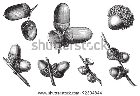 set of acorns / vintage illustration from Meyers Konversations-Lexikon 1897 - stock vector