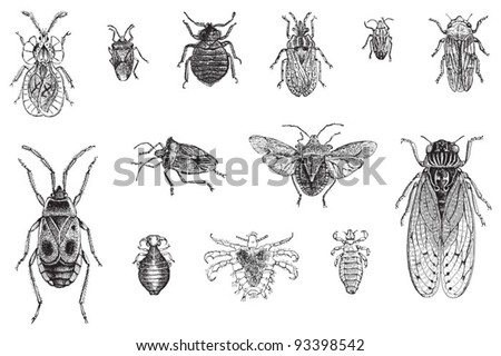 Set of bugs, cicada and louses / vintage illustration from Meyers Konversations-Lexikon 1897 - stock vector