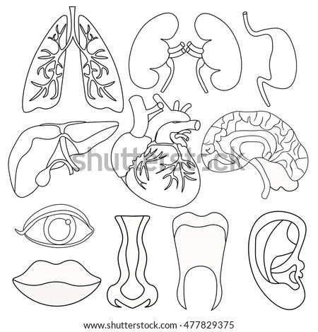 Set Coloring Human Organs Inside Body Stock Vector 477829375 ...