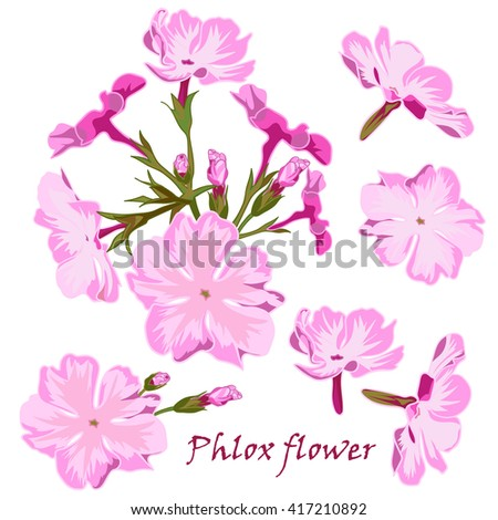 Set of flowers pink  phlox in realistic hand-drawn style Vector illustration. - stock vector