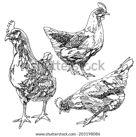 Set of hand drawn chickens. - stock vector