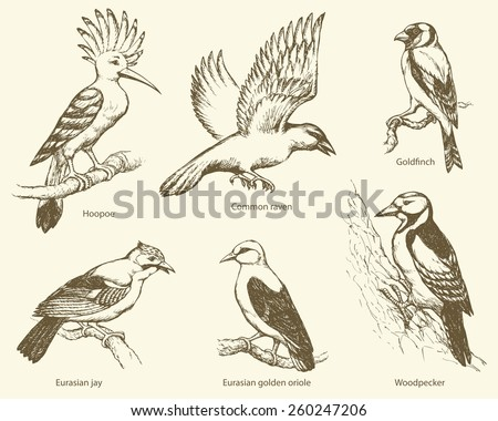 Set of large birds: fly rook, epops, golden oriole, woodpecker, jay, gold finch. Monochrome collection freehand ink drawn background sketch in art scribble style pen on paper with space for text - stock vector