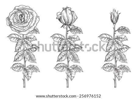 Set of roses. Vector roses from bud to full blossom at retro engraving style.  - stock vector