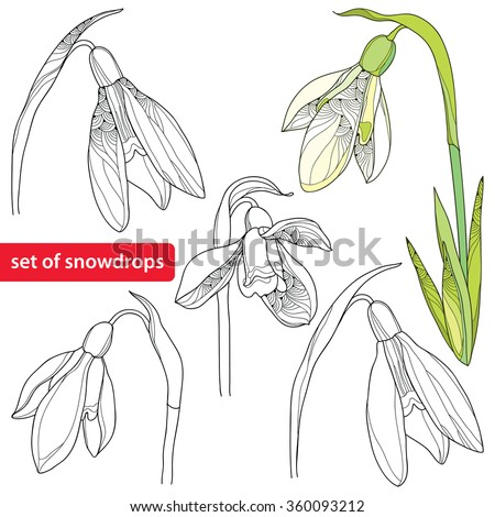 Set of Snowdrop flower or Galanthus isolated on white background. Floral elements in contour style. Plant is the one of spring symbols.