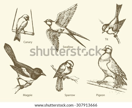 Set of urban city park birds: Swallow, Sparrow, Magpie, Pigeon, Canary, Tit. Vector monochrome freehand ink drawn backdrop sketchy in art scribble antiquity style pen on paper with space for text - stock vector
