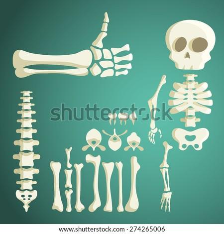 set of vector human bones - stock vector