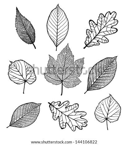 Set of Vector linden, oak, nut, plane tree, maple  leaves , isolated on white background - stock vector