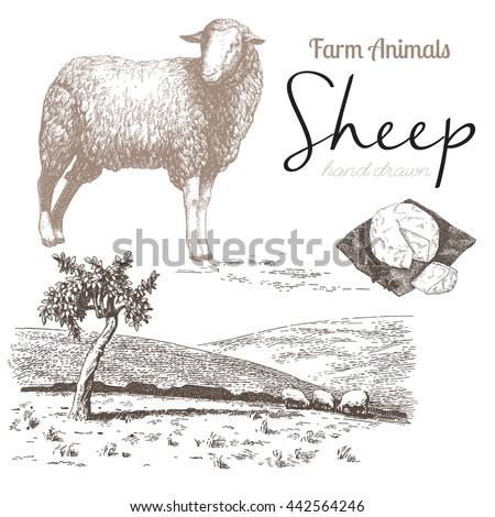 Sheep 4. Sheep breeding. Set of vector sketches on a white background. Sheep grazing in the meadow. Sheep cheese - stock vector