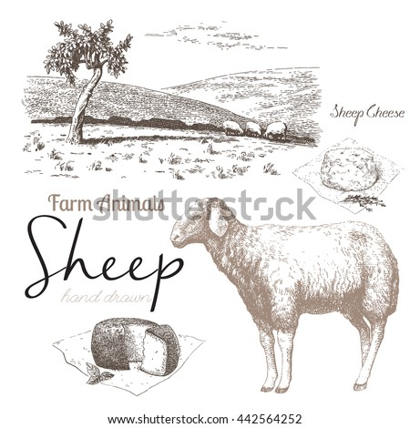 Sheep 3. Sheep breeding. Set of vector sketches on a white background. Sheep grazing in the meadow. Sheep cheese - stock vector