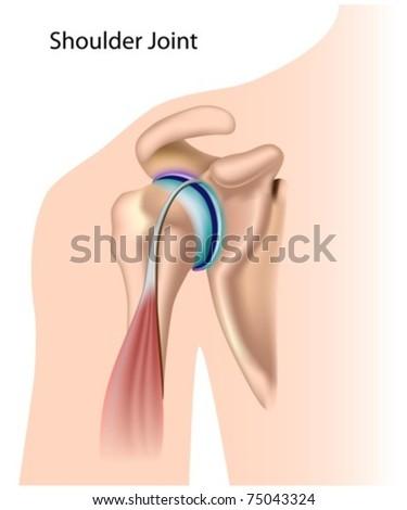 Shoulder joint - stock vector