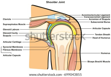 Shoulder Joint Human Body Anatomy Infographic Stock Vector 699043855 ...