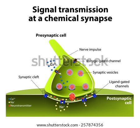 Signal transmission at a chemical synapse. one neuron releases neurotransmitter molecules into a synaptic cleft that is adjacent to another neuron.  - stock vector