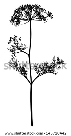 Silhouette of an inflorescence of fennel - stock vector