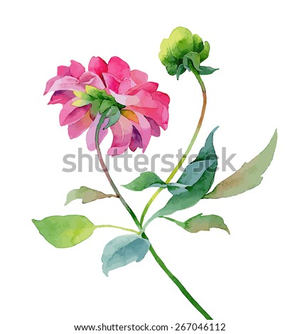 Single pink dahlia isolated on white background. Vector illustration - stock vector