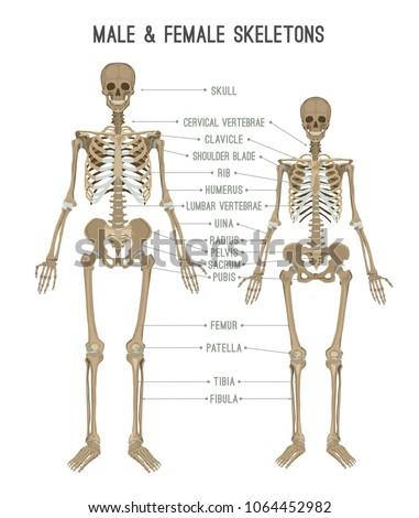 Female skeleton diagram vertebrae wiring diagram skeleton differences poster male comparison female stock vector rh shutterstock com human bones diagram back bones diagram ccuart Choice Image
