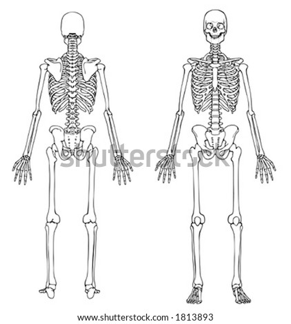 Skeleton Front and Back - VECTOR - stock vector
