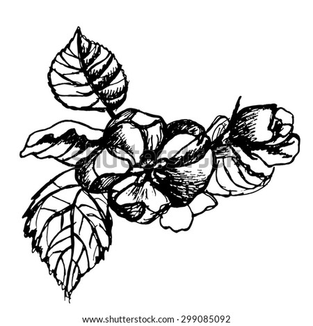 sketch ink flower apples on a branch vector illustration - stock vector