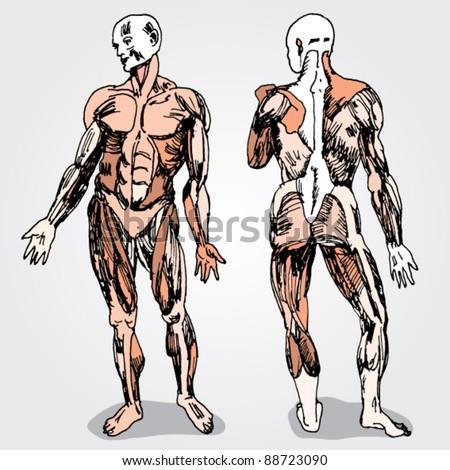 Sketch of Men's Anatomy Colorful - stock vector