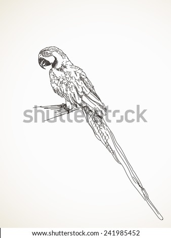 Sketch of parrot, Hand drawn vector illustration - stock vector