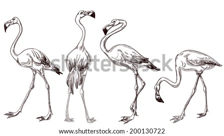 Sketched flamingos vector - stock vector