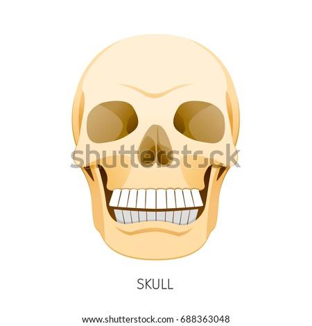 Skull Human Internal Organs Organ Diagram Stock Vector 688363048